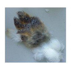 Barn Owl Plumage Feathers