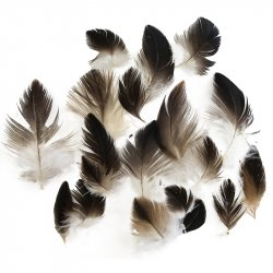 #1Wedged Tail Eagle Plumage Feathers x20