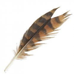 #1 Little Falcon Tail Feather