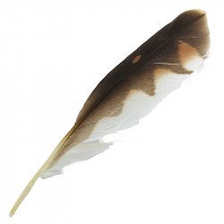 #5 Nankeen Kestrel Primary Wing Feather