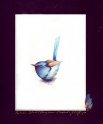 Australian Splendid Fairy Wren SOLD