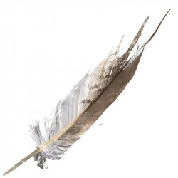 #11 Whistling Kite Tail Feather