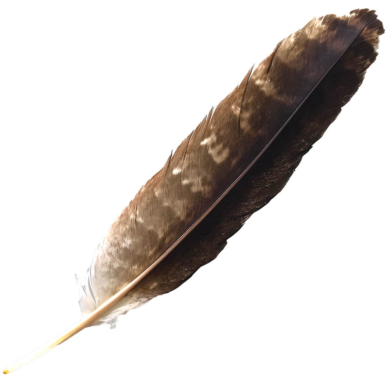 #16 Wedged Tailed Eagle Primary Wing Feather