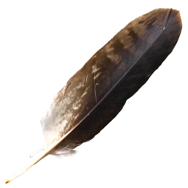 #051 Wedged Tailed Eagle Secondary Wing Feather