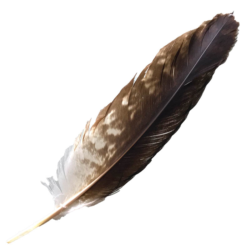 #055 Wedged Tailed Eagle Secondary Wing Feather