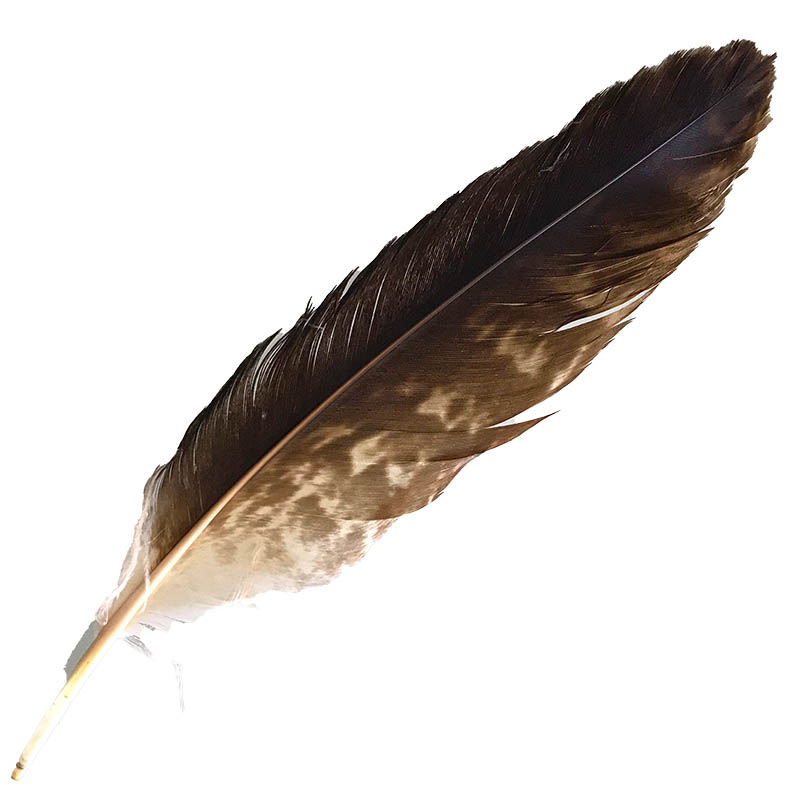 #060 Wedged Tailed Eagle Secondary Wing Feather