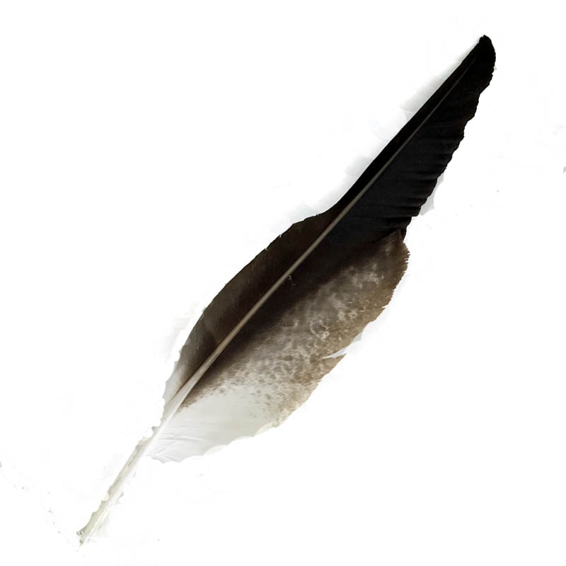 #74 Wedged Tailed Eagle Flight Wing Feather