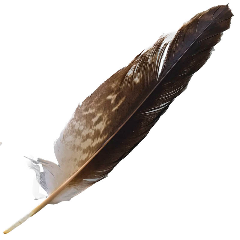 #059 Wedged Tailed Eagle Secondary Wing Feather