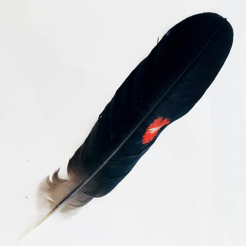 #1813 Red Tailed Black Cockatoo Feather