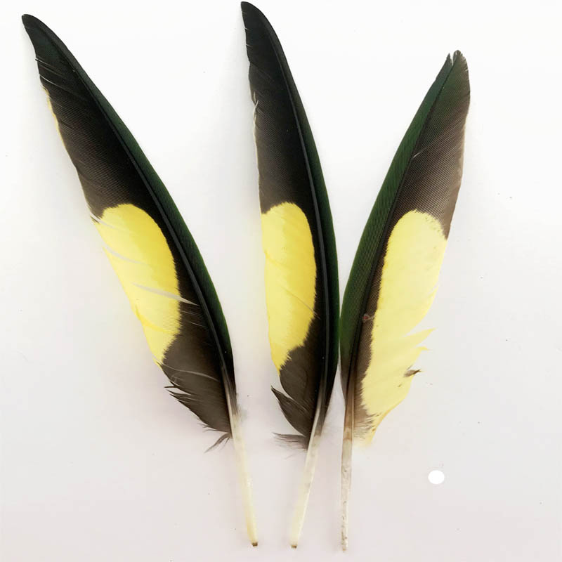 Rainbow Lorikeet Primary Wing Feather