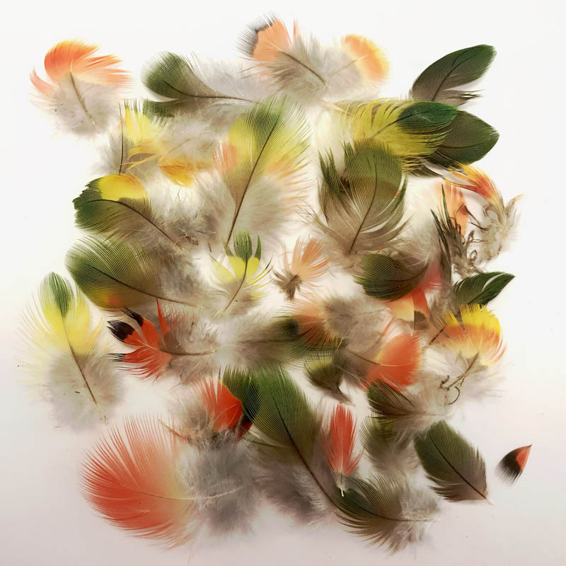 Rainbow Lorikeet Feathers