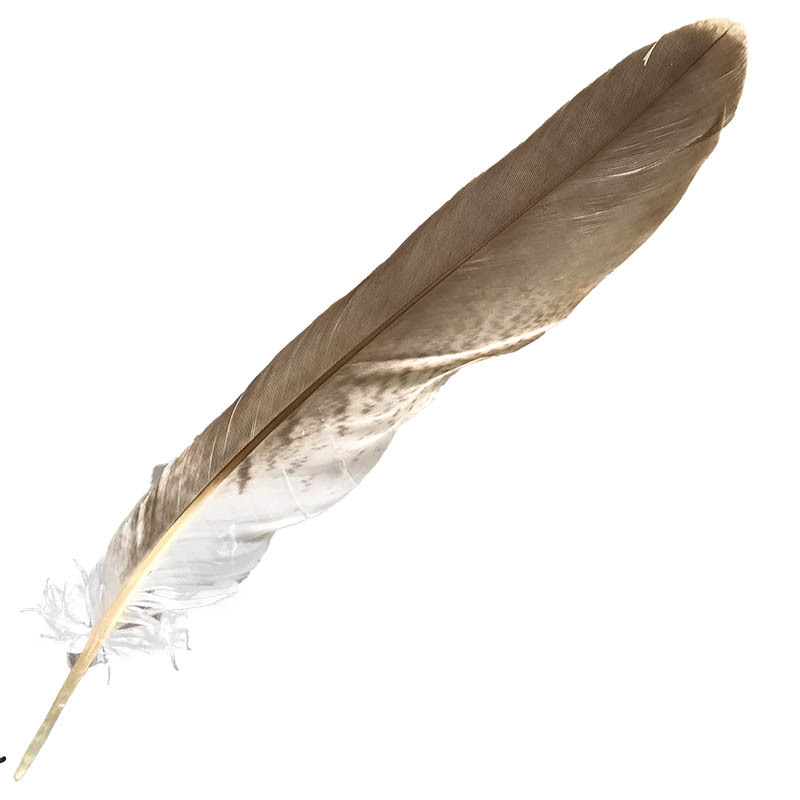 #2 Whistling Kite Tail Feather