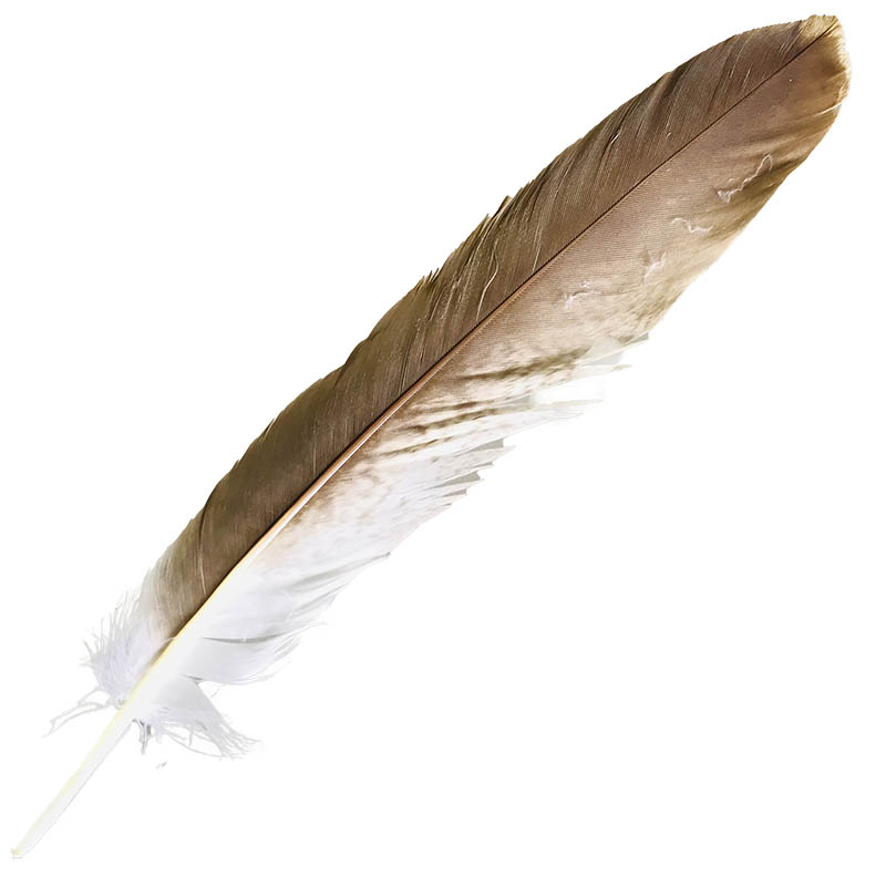 #4 Whistling Kite Tail Feather