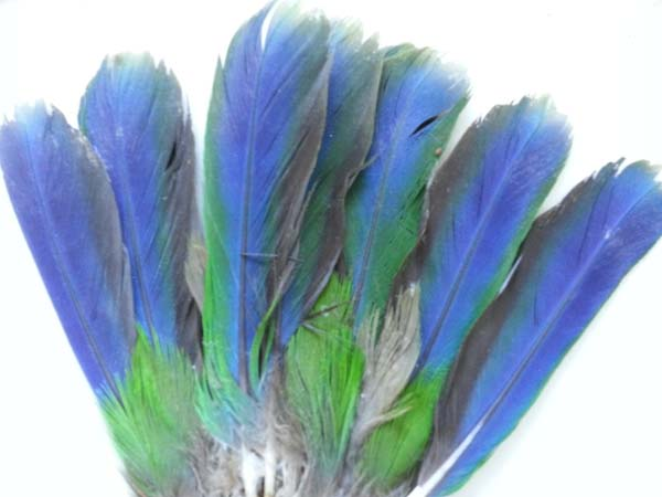 Eclectus Parrot Native Tail Feathers