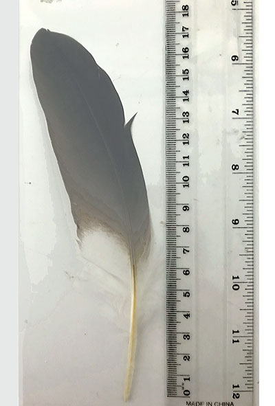 White Faced Heron Secondary Wing Feather