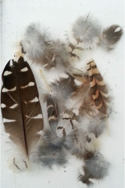 Koel Feathers
